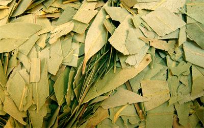 Eucalipto en hojas cortadas